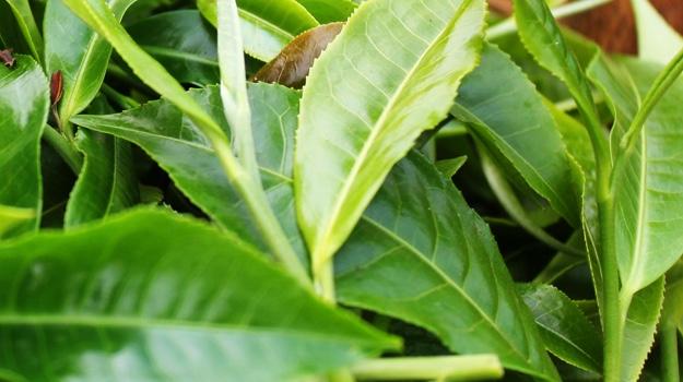 Organic Guayusa