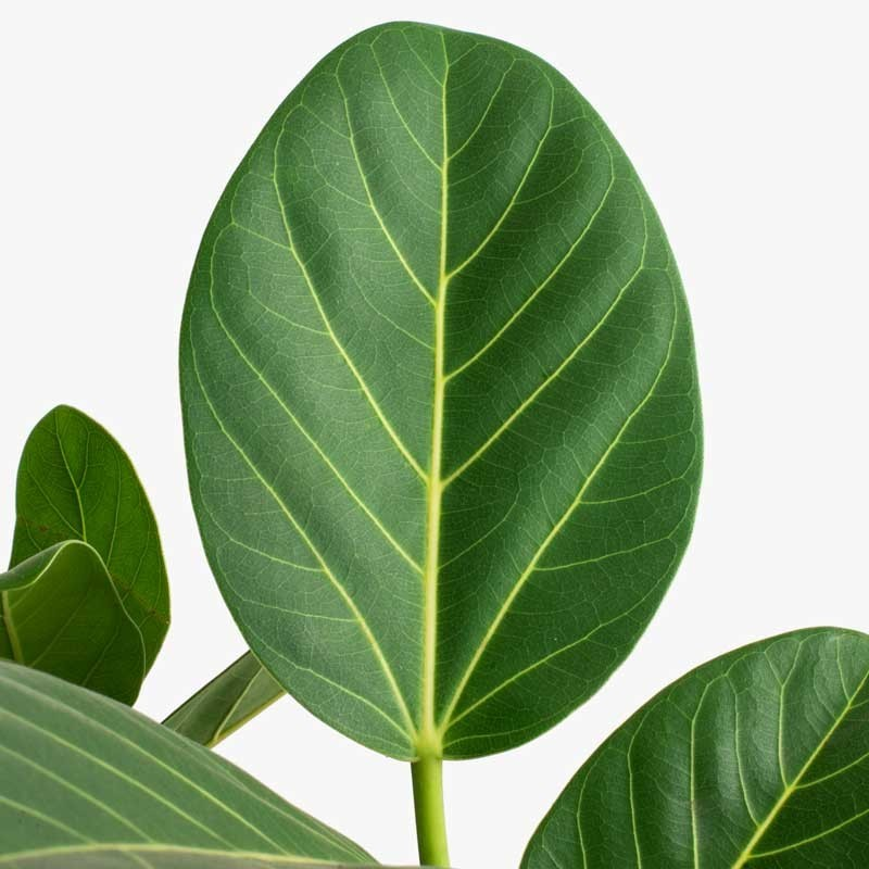 Ficus Audrey aka Ficus Benghalensis Leaf