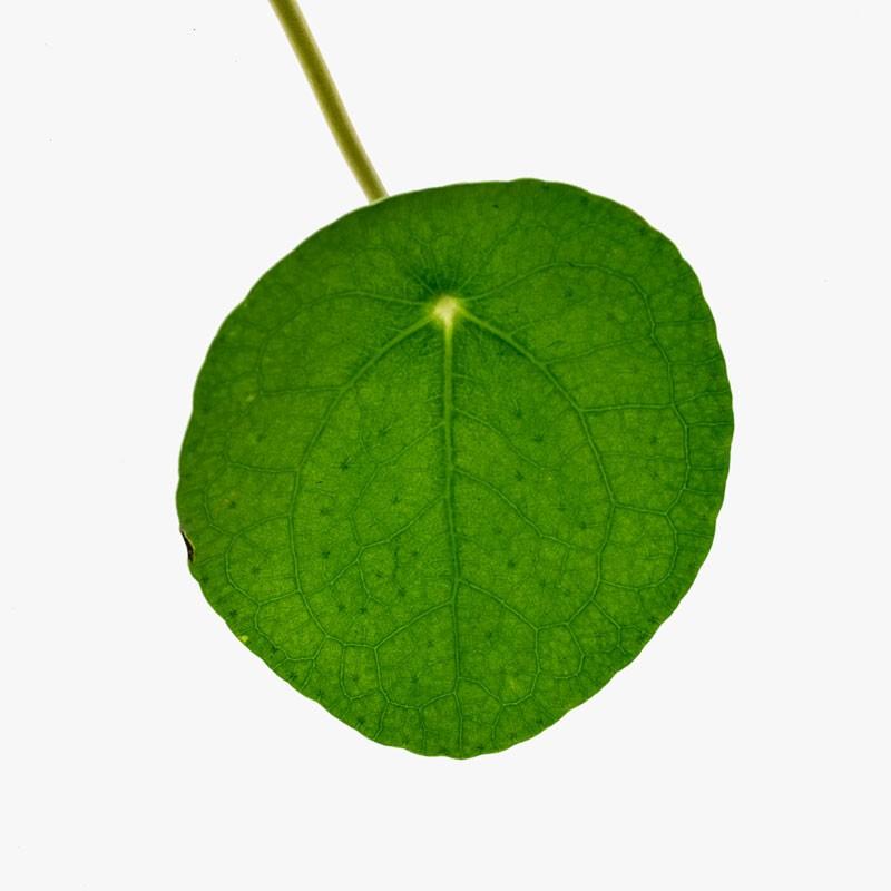 Pilea Peperomiodes Leaf