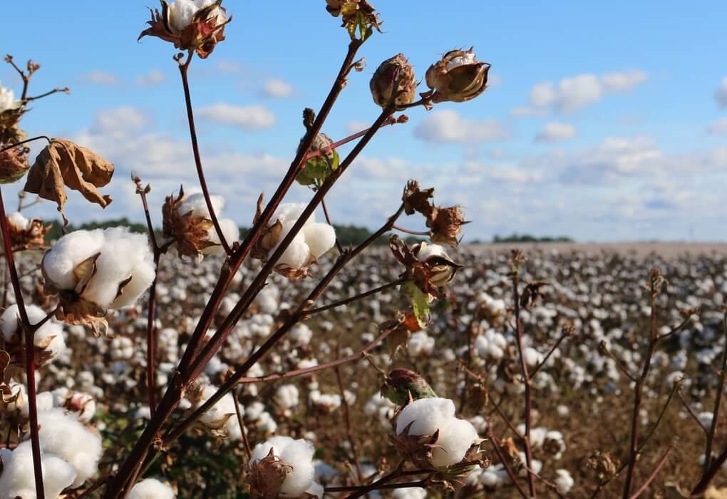 champ coton chemise coton bio loom