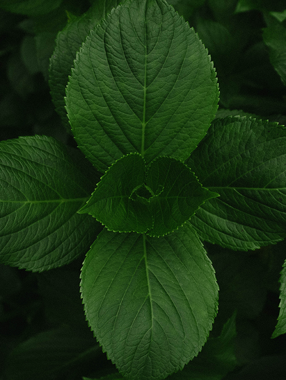 MENTHA PIPERITA (PEPPERMINT) OIL
